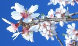 cropped-amandier-en-fleurs-1084831562-1178709.jpg
