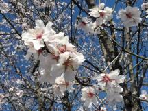 amandier-printemps